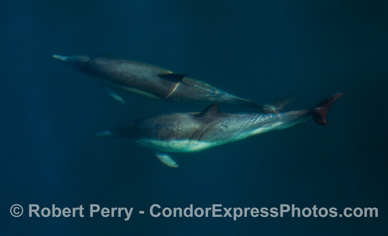 Common Dolphins (Delphinus capensis) in blue water.