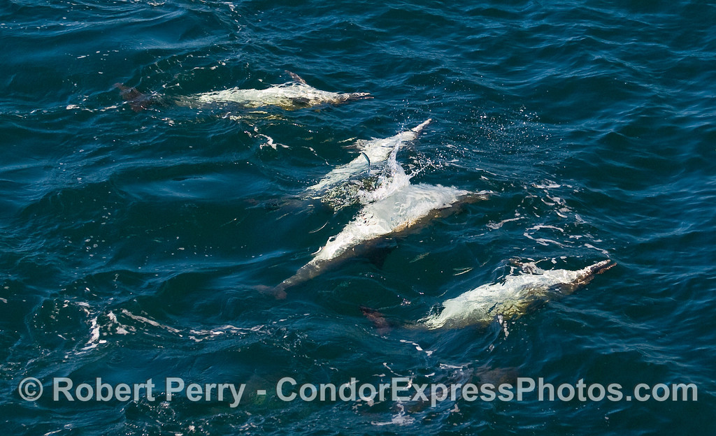 Upside-down feeding by Common Dolphins (Delphinus capensis) hunting Northern Anchovies (Engraulis mordax).