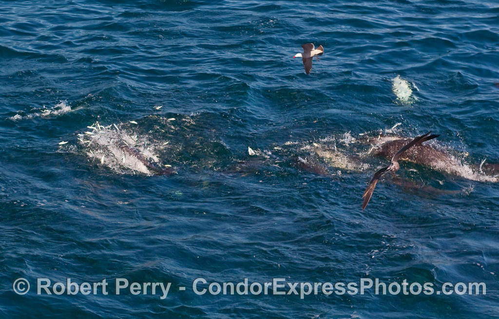 Common Dolphins (Delphinus capensis), feeding, send up a blast of Northern Anchovies (Engraulis mordax) trying to escape.
