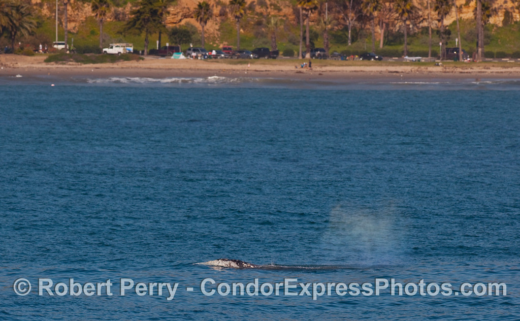 A Gray Whale (Eschrichtius robustus) with palm trees and beach in back.