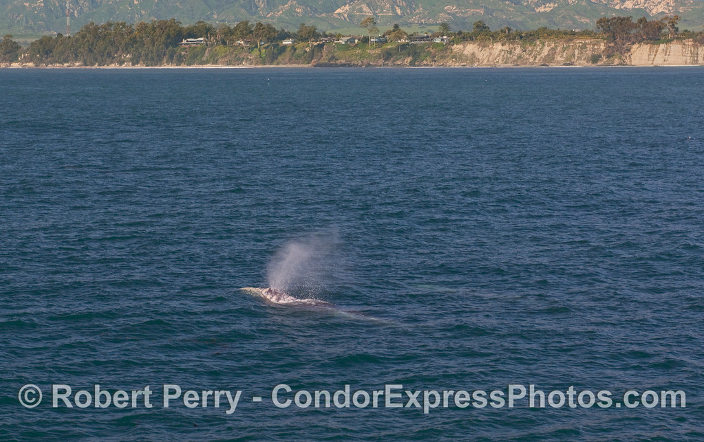 A north-bound Gray Whale (Eschrichtius robustus) spouts off the coast of Santa Barbara.