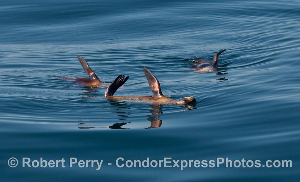 A raft of California Sea Lions (Zalophus californianus) relaxin' in the warm sun.
