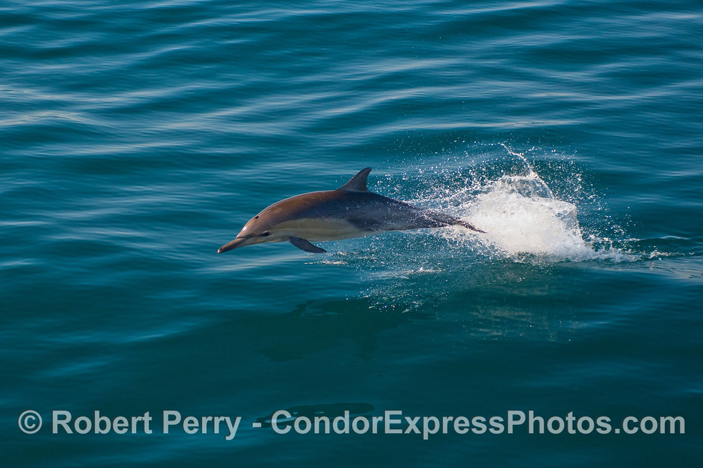 A Common Dolphin (Delphinus capensis) leaps - sequence - image 2 of 3.