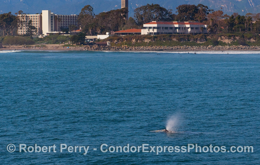 A Gray Whale (Eschrichtius robustus) with UCSB in back.