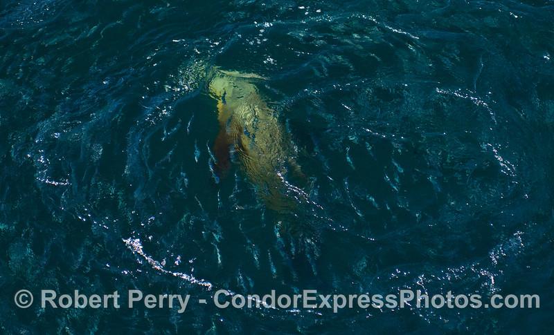 A California Sea Lion (Zalophus californianus) hunts Northern Anchovies (Engraulis mordax).