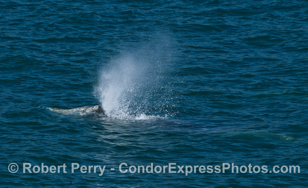 Close look at a Gray Whale (Eschrichtius robustus) spouting...the rest of the body can be seen under the water.