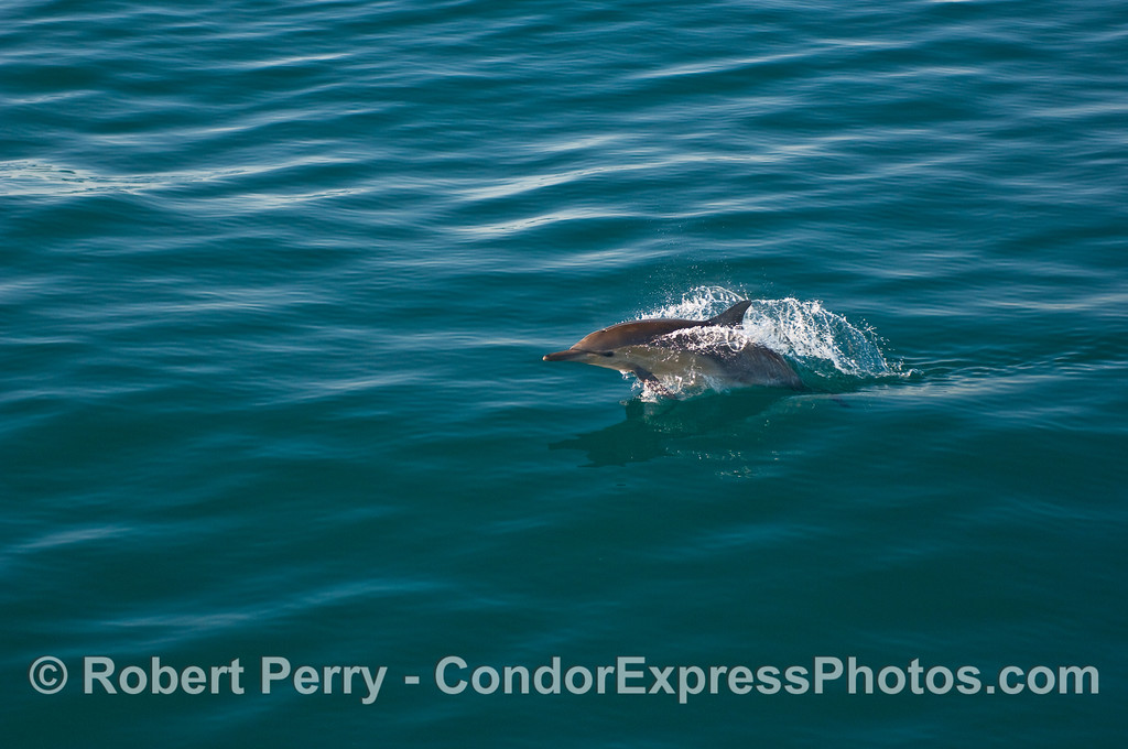 A Common Dolphin (Delphinus capensis) leaps - sequence - image 1 of 3.