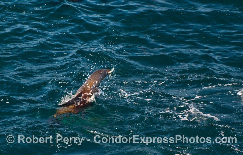 A California Sea Lion (Zalophus californianus) grabs a Northern Anchovy (Engraulis mordax) in its mouth and leaps out of the water.