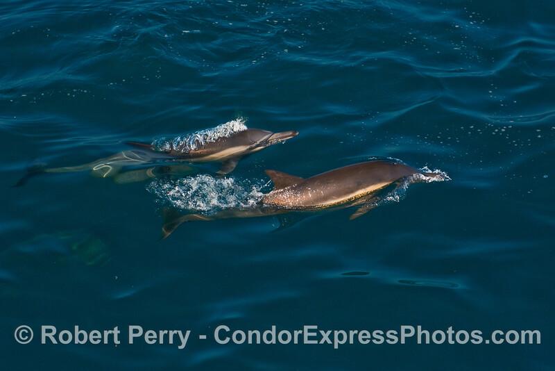 Two Common Dolphins (Delphinus capensis).