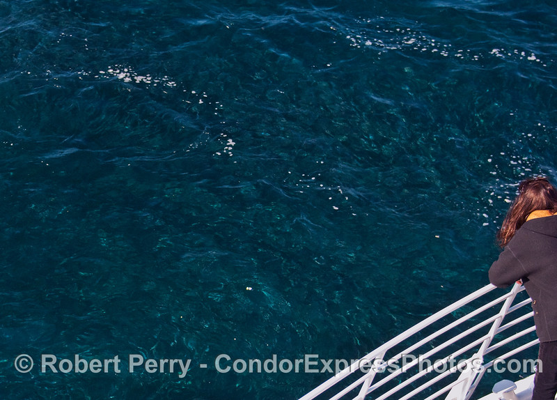 A whaler aboard the Condor Express takes a look at the masses of Northern Anchovies (Engraulis mordax).