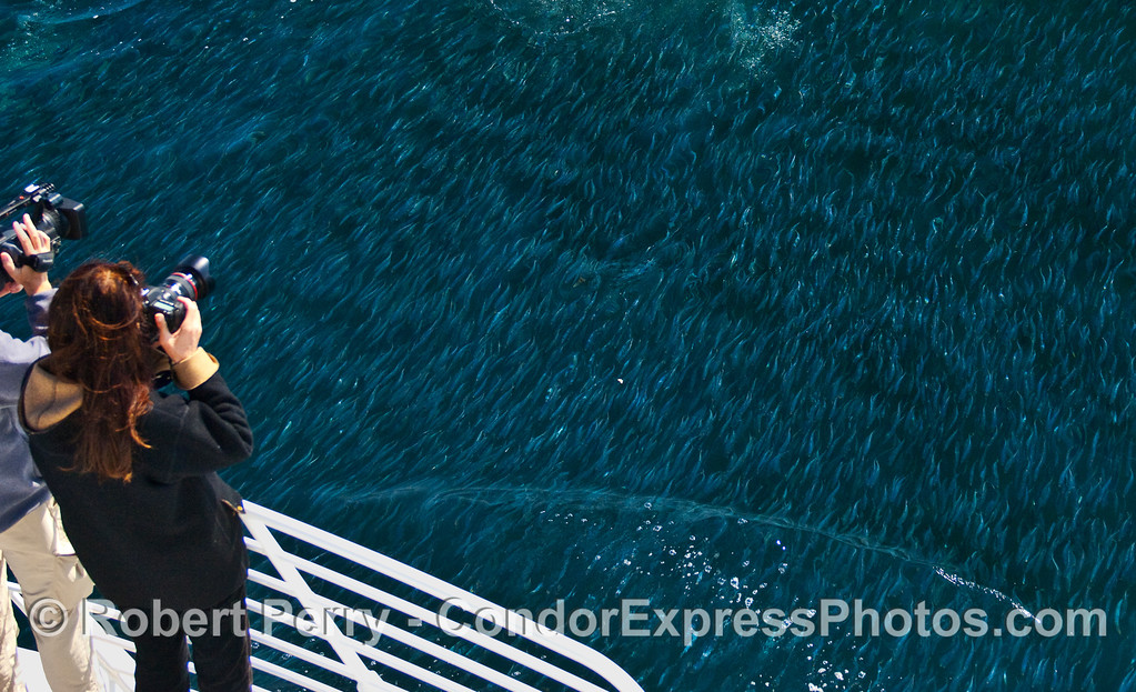 Photographers aboard the Condor Express capture the masses of Northern Anchovies (Engraulis mordax).