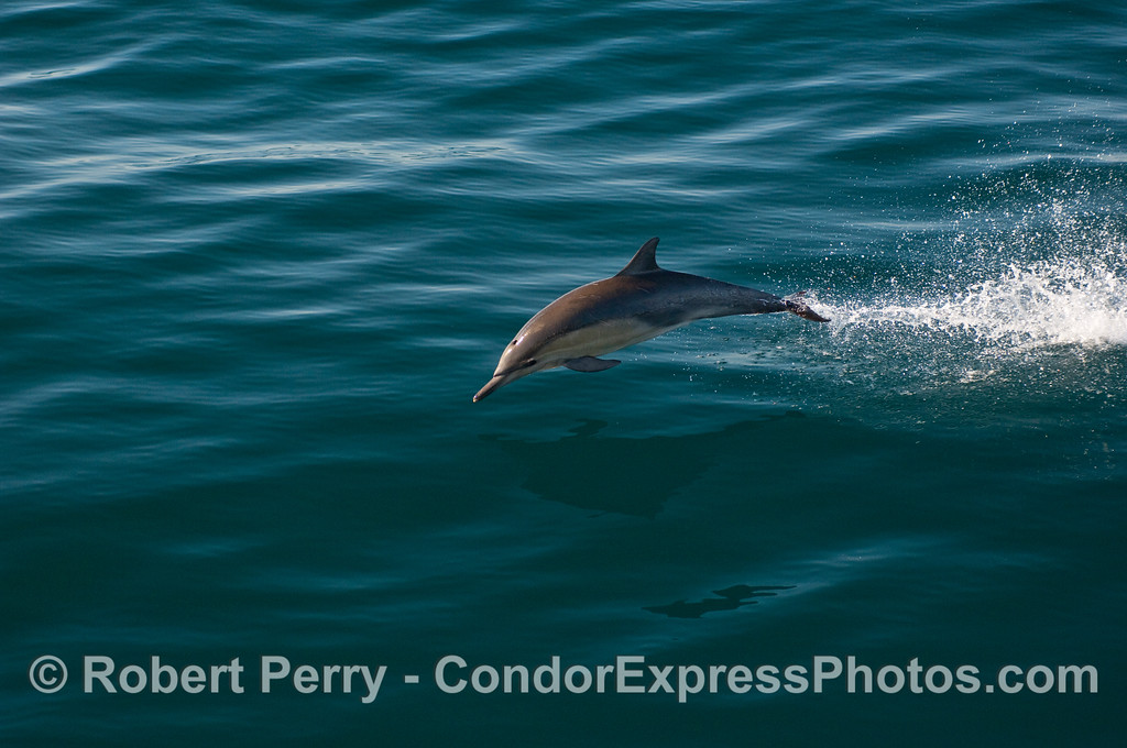 A Common Dolphin (Delphinus capensis) leaps - sequence - image 3 of 3.