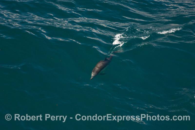Common Dolphin (Delphinus capensis) riding a big open ocean wave.