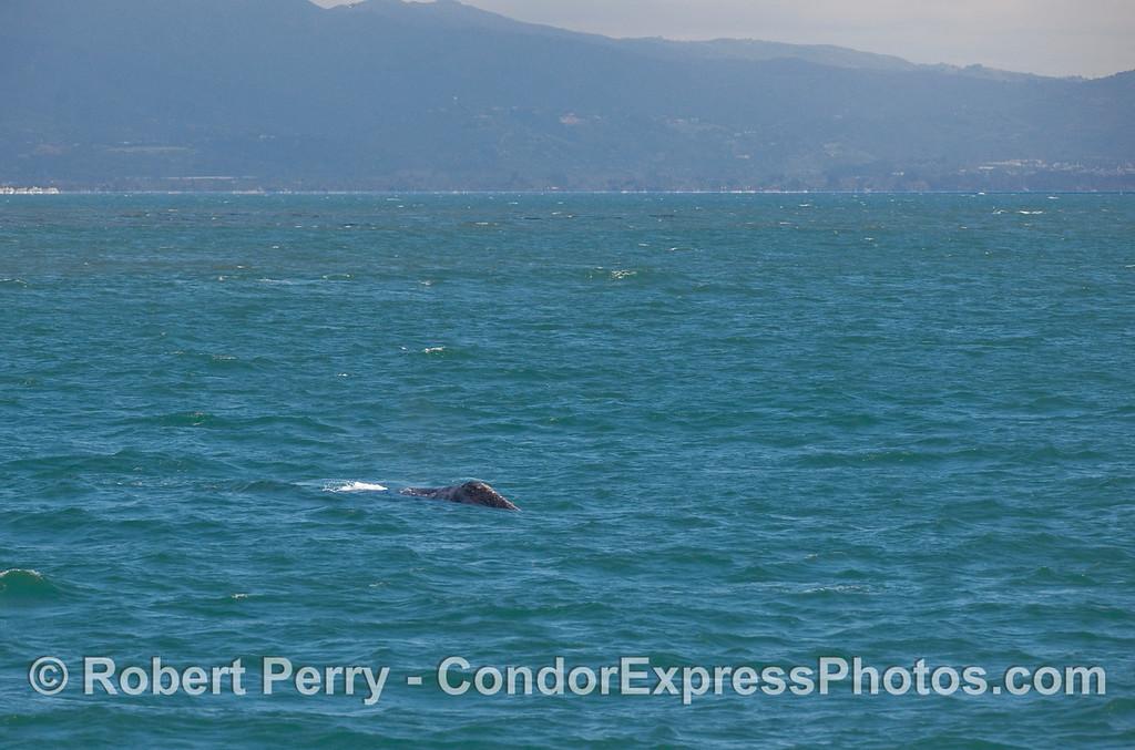 Gray Whale (Eschrichtius robustus) head.
