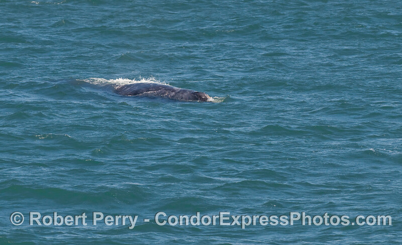 An elusive Gray Whale (Eschrichtius robustus) is finally captured.