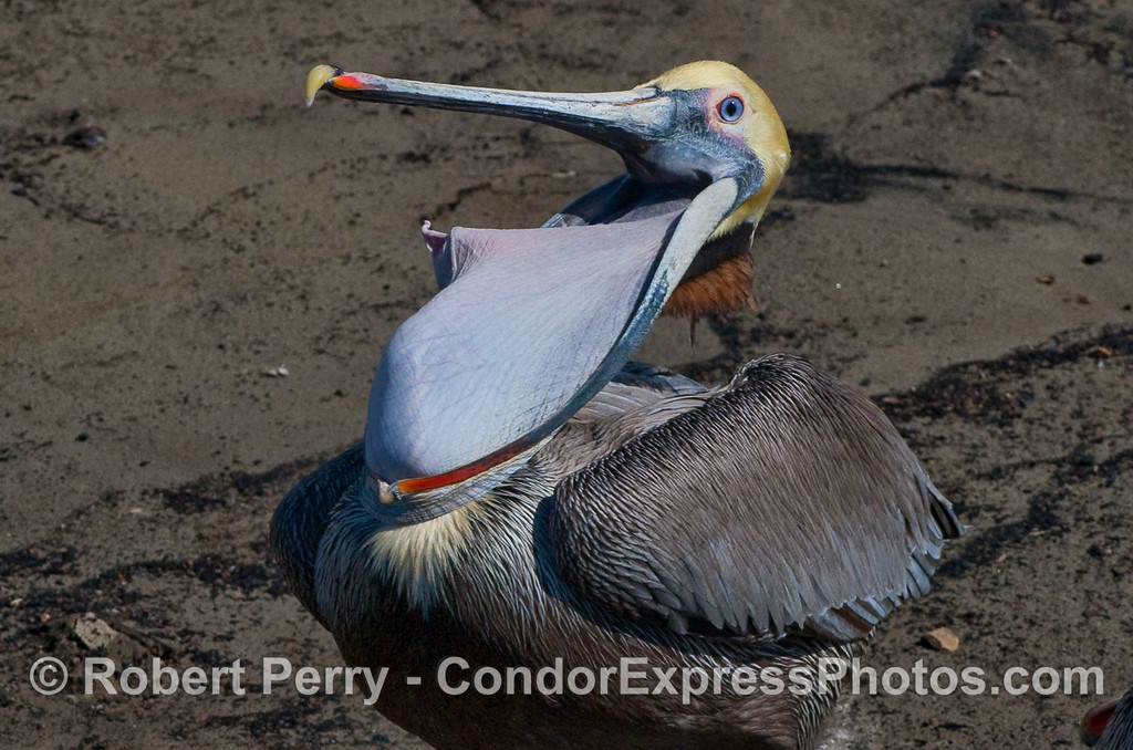 Pouch stretching manoeuvre - Brown Pelican (Pelecanus occidentalis).