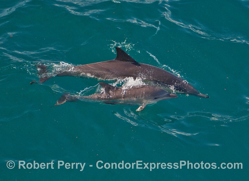 Cow and her calf - Common Dolphins (Delphinus capensis).