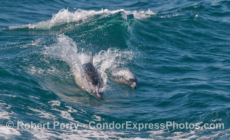 Common Dolphins (Delphinus capensis) riding a small boat wake wave.
