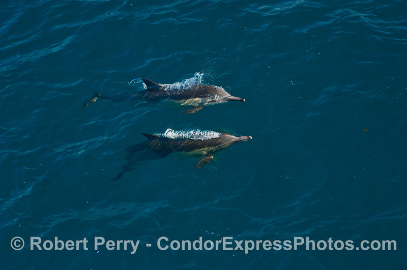Two Common Dolphins (Delphinus capensis) come up for air in blue water.