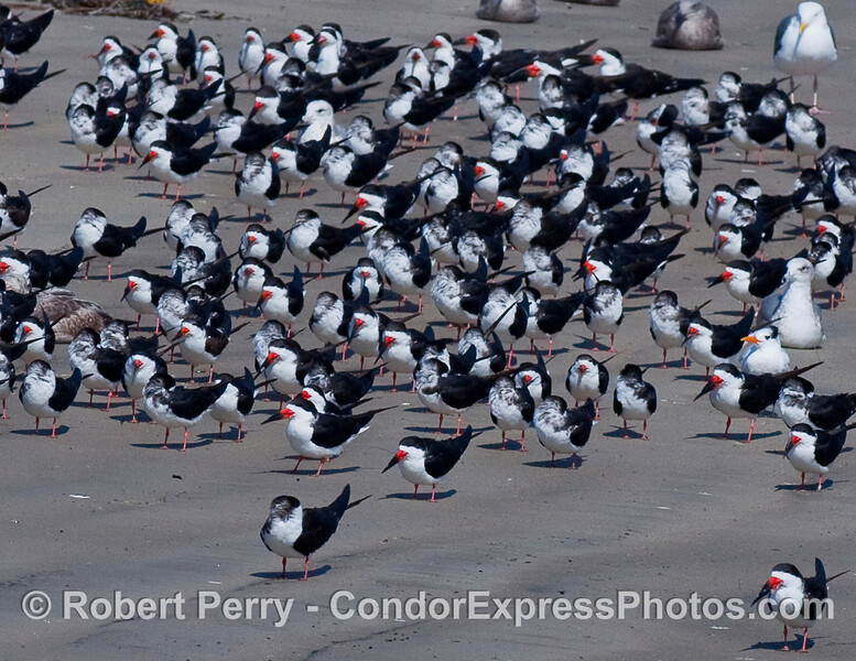 Black Skimmers (Rynchops niger) relaxin' on the sand.