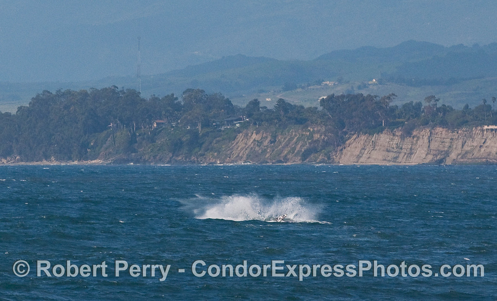 Big splash from a Gray Whale (Eschrichtius robustus) breaching.