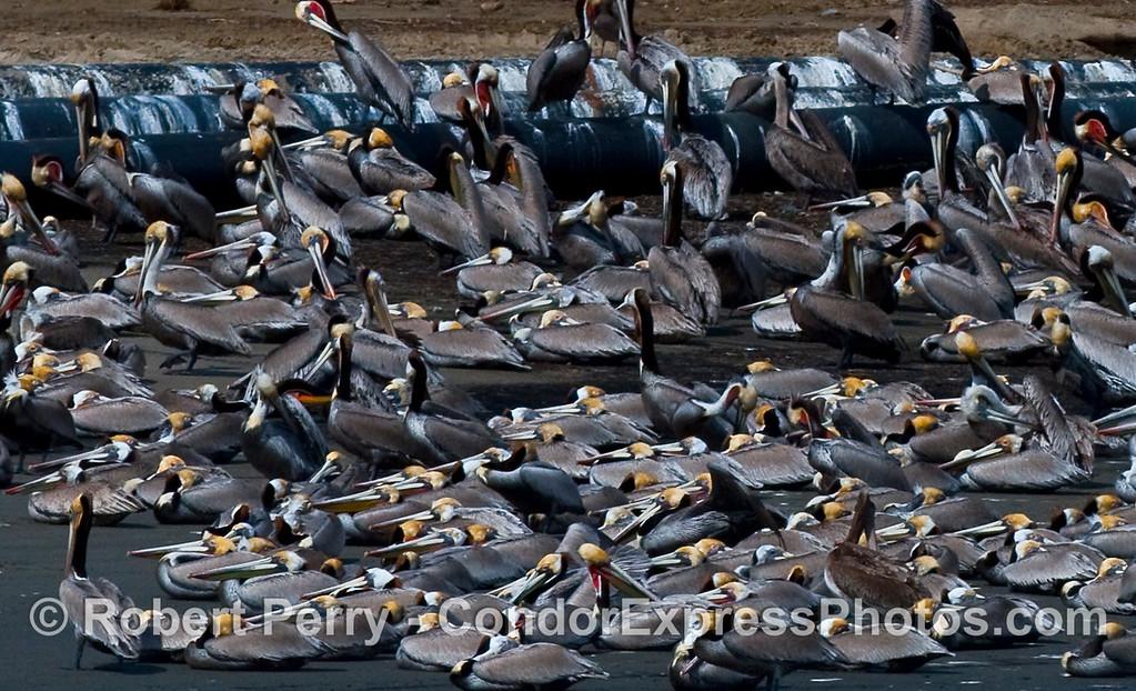 Piles of pelicans - Brown Pelicans (Pelecanus occidentalis) asleep on West Beach, Santa Barbara.