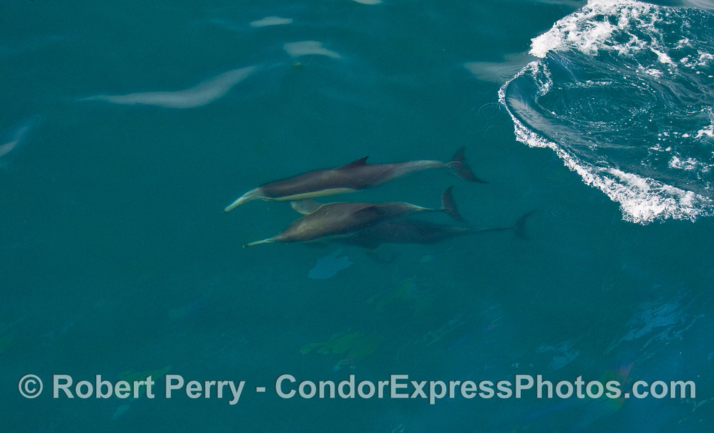 A trio of Common Dolphins (Delphinus capensis) dive together.  (this is a close crop of the next image)