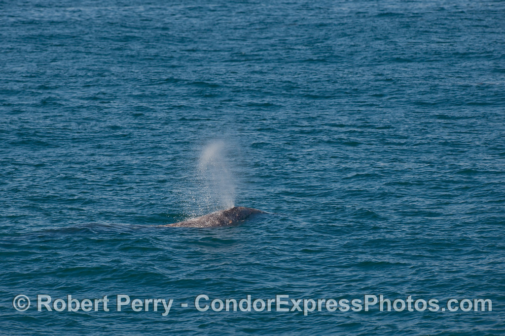 Image 2 of 2 - a Gray Whale (Eschrichtius robustus) spouting sequence... wide angle image.  (previous image is the close cropped detail version of this same shot)