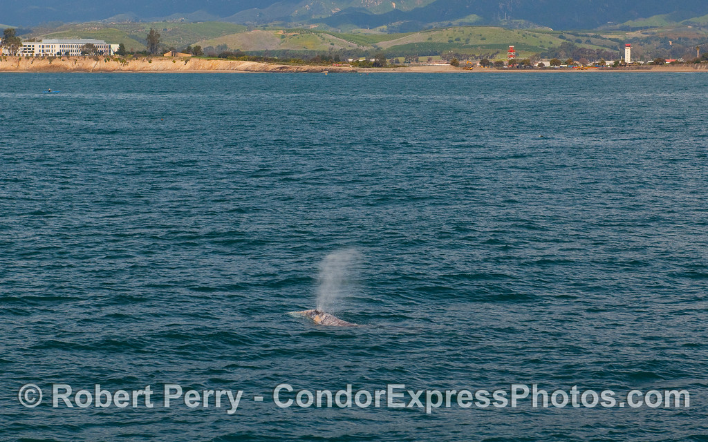A Gray Whale (Eschrichtius robustus) spouts with Goleta in background.