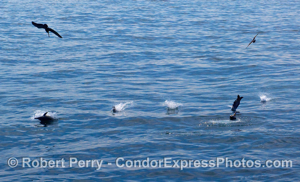 From right to left:  Splash, splash, splash, splash and a dorsal fin.  Brown Pelicans (Pelecanus occidentalis) and a Common Dolphin (Delphinus capensis) all in a row.