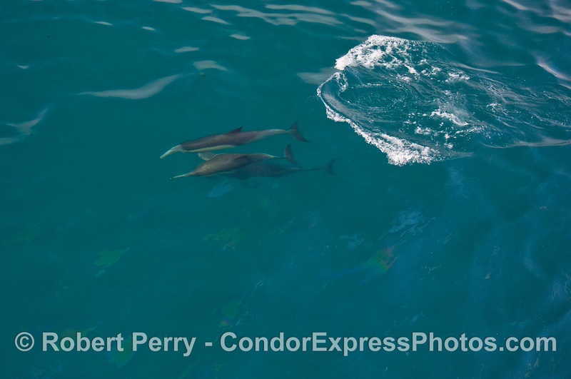 A trio of Common Dolphins (Delphinus capensis) dive together.  (this is a wide angle of the previous image)