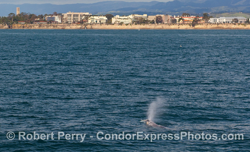 A Gray Whale (Eschrichtius robustus) spouts in front of UCSB.