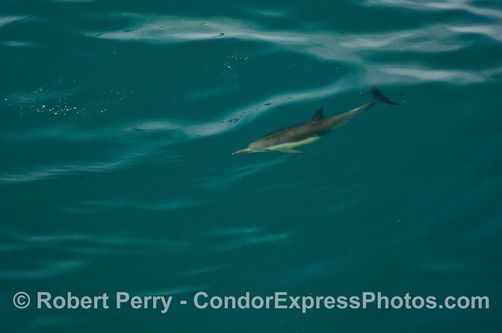 Delphinus capensis 1 UW wide angle 2010 03-05 SB Coast b - 037