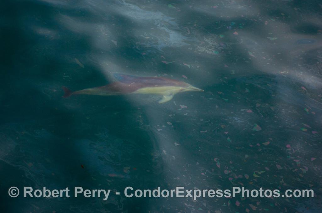 A Common Dolphin (Delphinus capensis) rides beneath the surface oil.