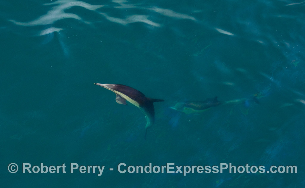 Comin' up!  A Common Dolphin (Delphinus capensis) heads for the surface.