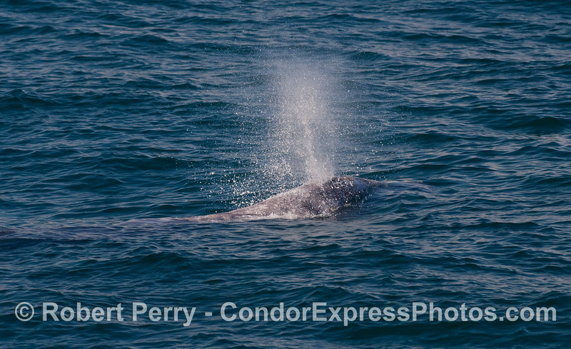 Image 2 of 3 - a Gray Whale (Eschrichtius robustus) spouting sequence.  Geyser.