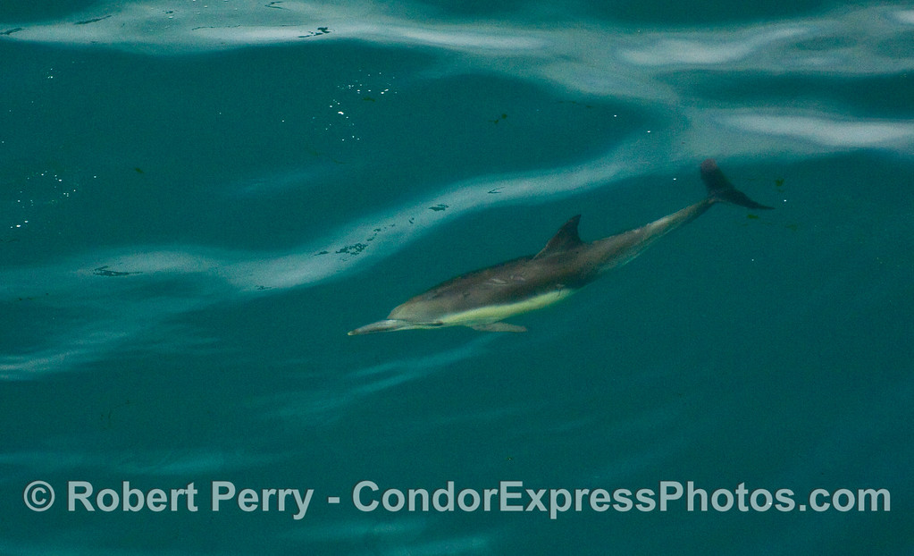 A Common Dolphin (Delphinus capensis) glides below the glassy surface.