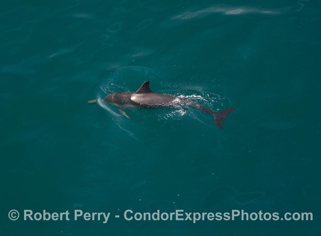 A leaping Common Dolphin (Delphinus capensis).