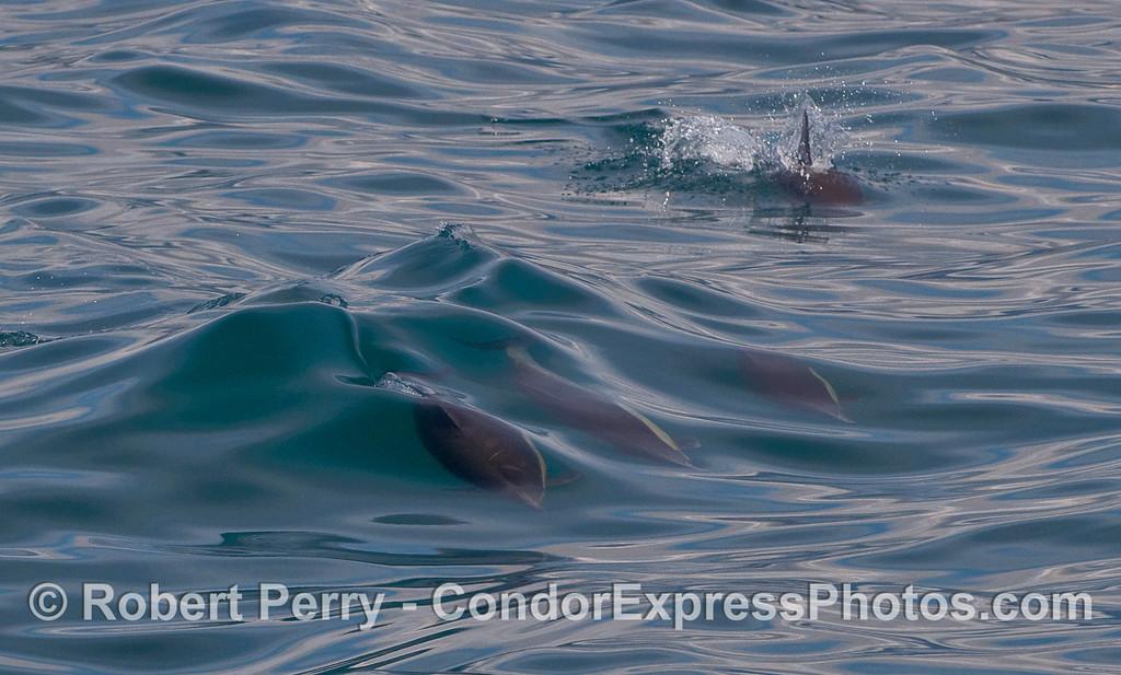 Three wake-riding Common Dolphins (Delphinus capensis).