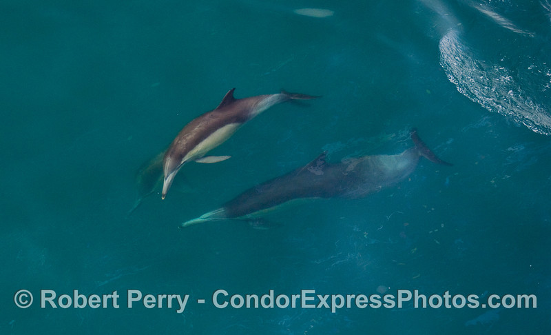 Common Dolphins (Delphinus capensis) cavorting.