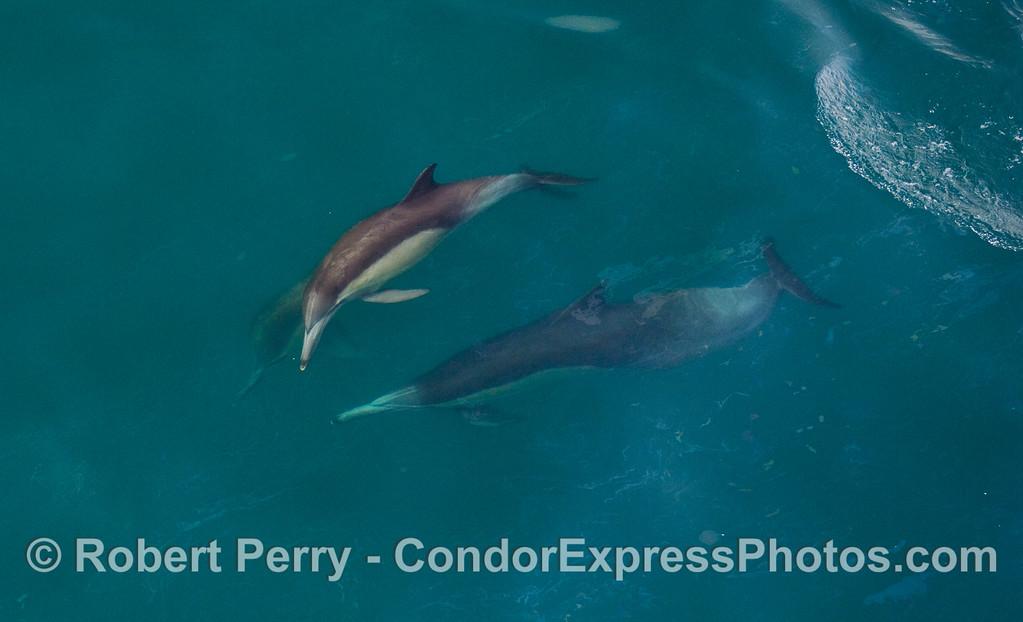 Common Dolphins (Delphinus capensis) cavorting.