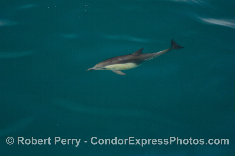 A lone Common Dolphin (Delphinus capensis) in a blue ocean.