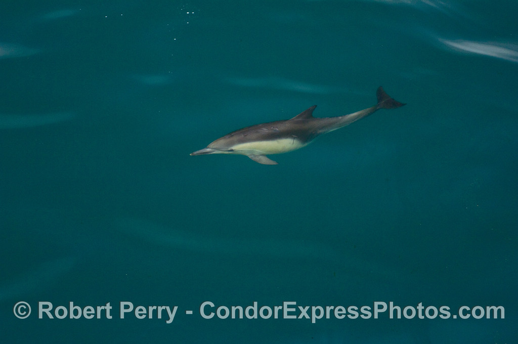 A lone Common Dolphin (Delphinus capensis) in a blue ocean.