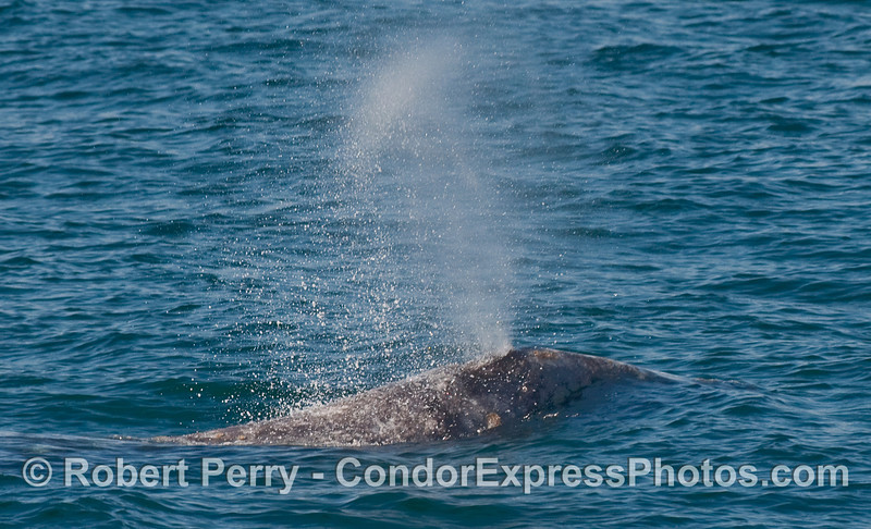 Image 2 of 2 - a Gray Whale (Eschrichtius robustus) spouting sequence... close detail cropping.  (next image is the wide angle version of this same shot)