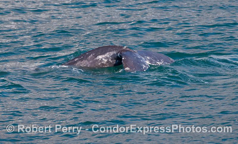 Gray Whale (Eschrichtius robustus) tail flukes.