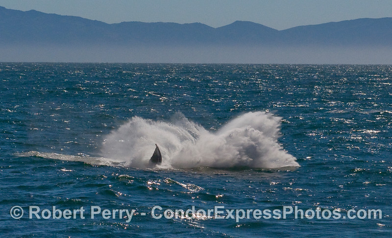 A sequence of photos showing a Humpback Whale (Megaptera novaeangliae) breaching - image 5 of 5.