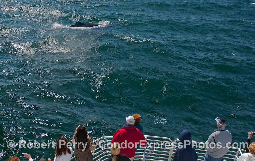 Whalers on the bow of the Condor Express enjoy a close approach by a friendly Humpback Whale (Megaptera novaeangliae).