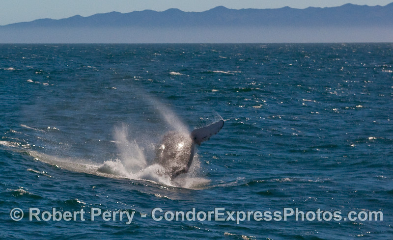 Two images in a row of another breach by the same Humpback Whale (Megaptera novaeangliae) as before.  Image 1 of 2.