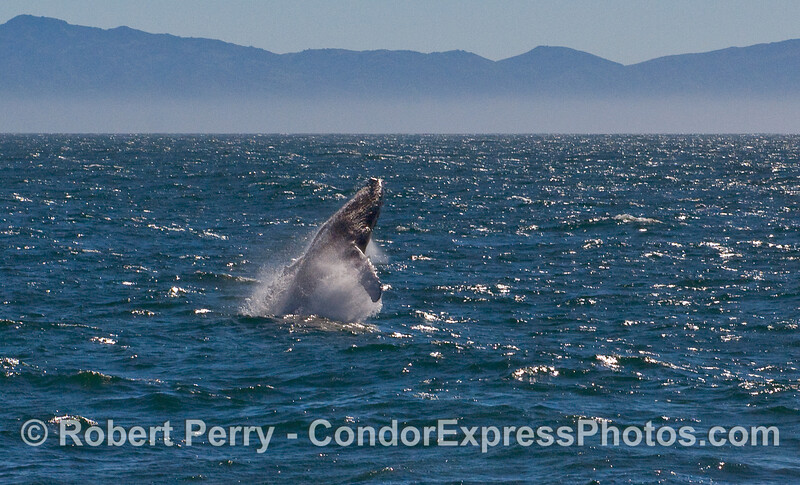 A sequence of photos showing a Humpback Whale (Megaptera novaeangliae) breaching - image 1 of 5.