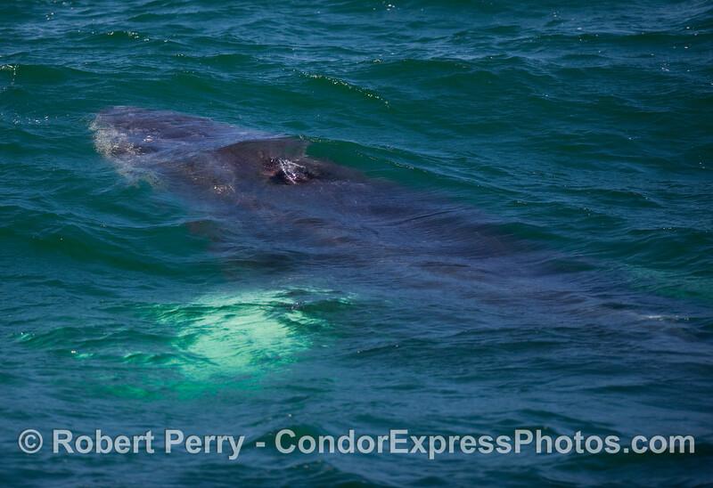 A Humpback Whale (Megaptera novaeangliae) underwater.